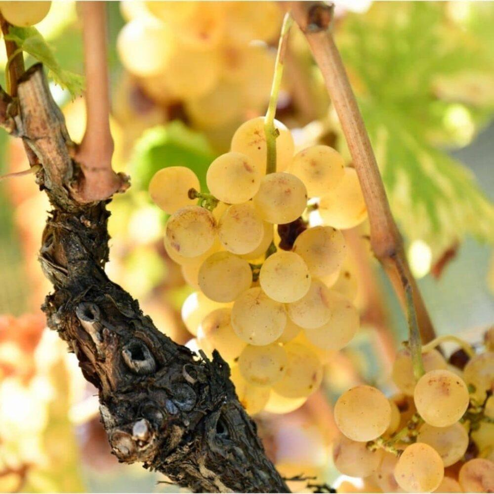 de-adami-belo-grozdje