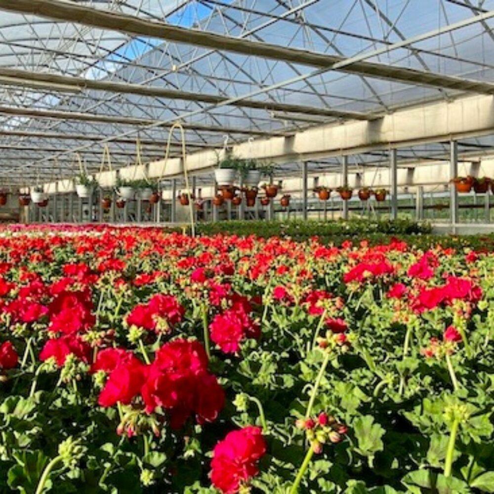 Vzgoja balkonskega cvetja vrtnarstvo Iris